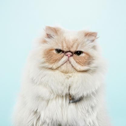 Mammal「Studio portrait of cat」:スマホ壁紙(17)