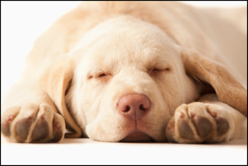 Sleeping「Studio portrait of Yellow Labrador Retriever」:スマホ壁紙(18)