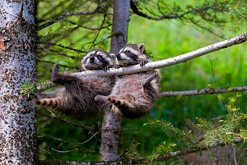 Raccoon「Two Baby Raccoons Swinging from Tree Branch」:スマホ壁紙(4)