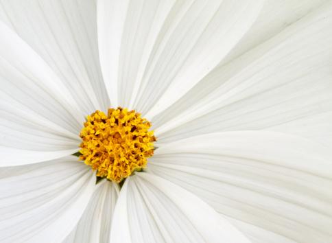 コスモス「花の背景」:スマホ壁紙(17)