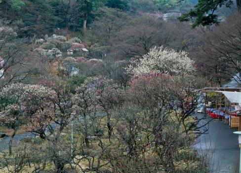 梅の花「Atami Baien, Atami, Shizuoka, Japan」:スマホ壁紙(9)