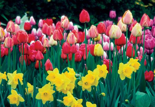 水仙「Group of Tulips and Daffodils in a field, Netherlands」:スマホ壁紙(18)