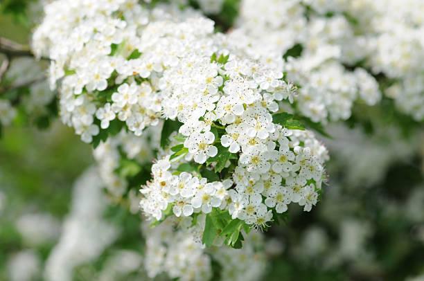 Weissdorn - Hawthorn or thornapple:スマホ壁紙(壁紙.com)
