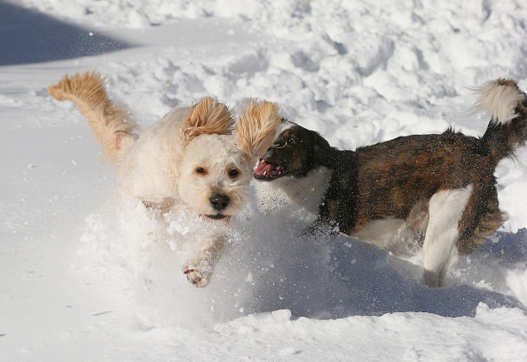 2016 Winter Storm Jonas「Dogs Enjoying Winter Storm Jonas」:写真・画像(1)[壁紙.com]