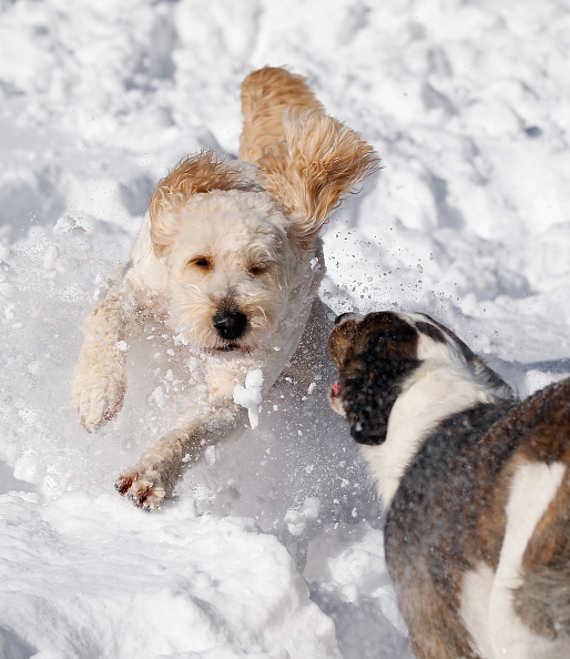 2016 Winter Storm Jonas「Dogs Enjoying Winter Storm Jonas」:写真・画像(10)[壁紙.com]