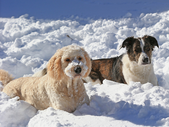 2016 Winter Storm Jonas「Dogs Enjoying Winter Storm Jonas」:写真・画像(18)[壁紙.com]