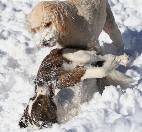 2016 Winter Storm Jonas「Dogs Enjoying Winter Storm Jonas」:写真・画像(8)[壁紙.com]
