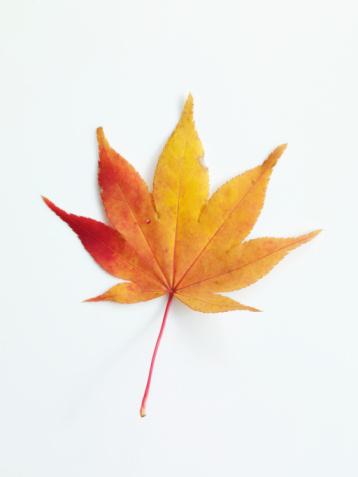 紅葉「fall leaf」:スマホ壁紙(8)