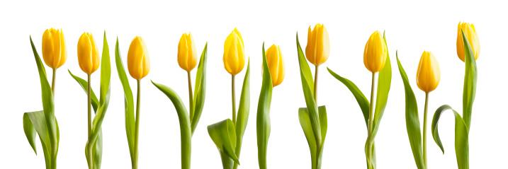 チューリップ「新鮮な春の明るい黄色のチューリップ白背景」:スマホ壁紙(11)