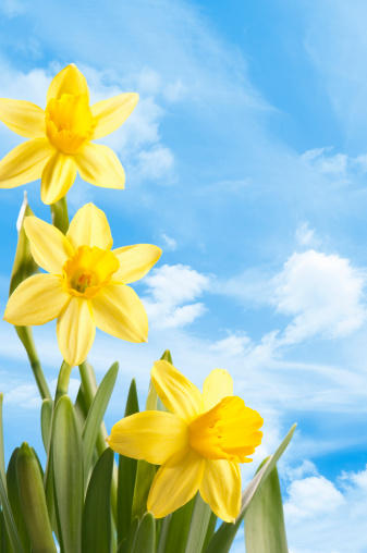水仙「新鮮な春の明るいイエロー daffodils アゲインスト、ブルースカイ」:スマホ壁紙(7)