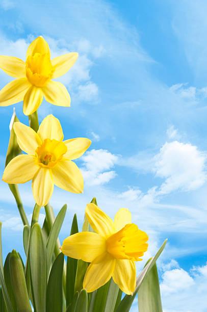 Fresh bright yellow spring daffodils against a blue sky:スマホ壁紙(壁紙.com)