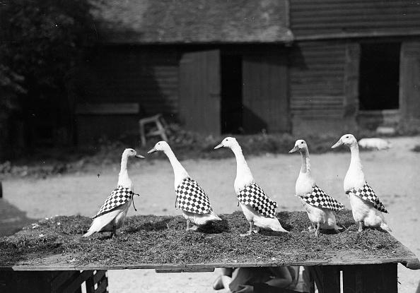 Working Animal「Farm Ducks」:写真・画像(16)[壁紙.com]