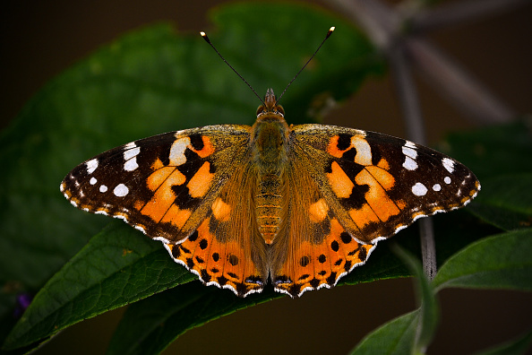 Butterfly - Insect「Unusually High Numbers of Painted Lady Butterflies Reported Across Europe」:写真・画像(11)[壁紙.com]