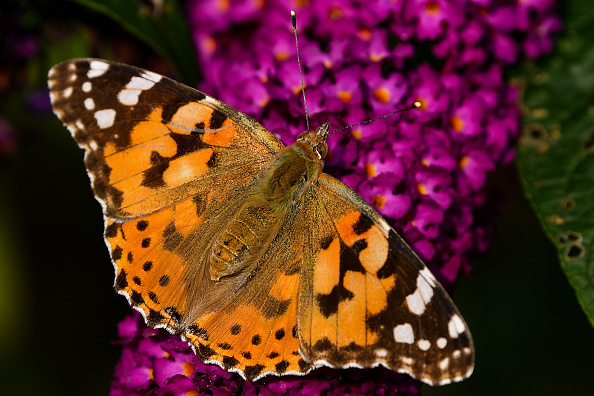 Butterfly - Insect「Unusually High Numbers of Painted Lady Butterflies Reported Across Europe」:写真・画像(10)[壁紙.com]