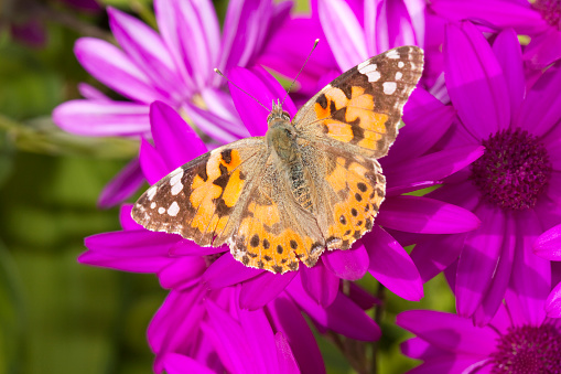 Lepidoptera「Painted Lady butterfly feeds on garden flowers」:スマホ壁紙(14)