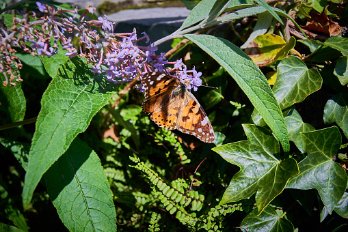 Vanessa James「Painted lady Butterfly (Scientific name: Vanessa cardui)」:スマホ壁紙(2)