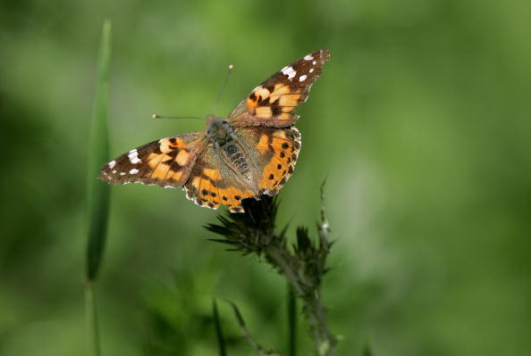 Butterfly - Insect「Record Number OF Butterflies Migrate To Californias Bay Area」:写真・画像(9)[壁紙.com]