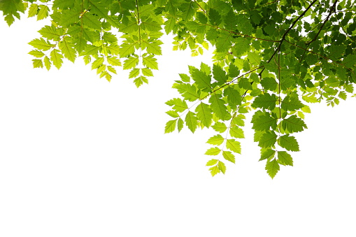 落葉樹「新鮮な緑の葉」:スマホ壁紙(5)