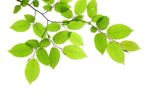 落葉樹「新鮮な緑の葉」:スマホ壁紙(7)