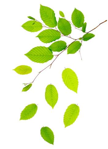 Branch - Plant Part「Fresh Green Leaves」:スマホ壁紙(2)