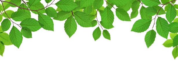 葉「新鮮な緑の葉」:スマホ壁紙(19)