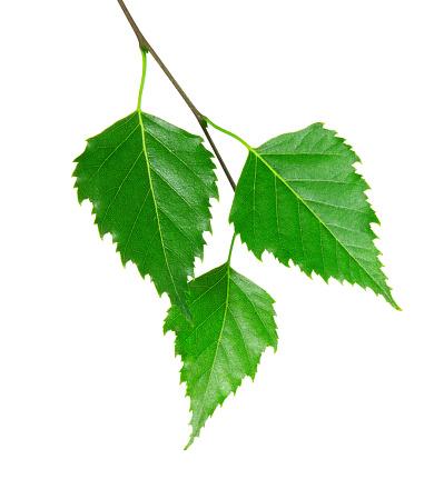 Twig「3 fresh green leaves from a branch」:スマホ壁紙(18)