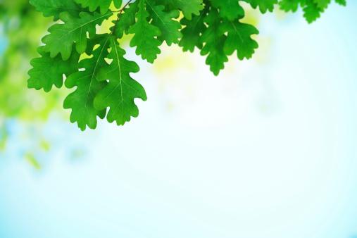 オーク林「新鮮な緑のオークの葉」:スマホ壁紙(16)