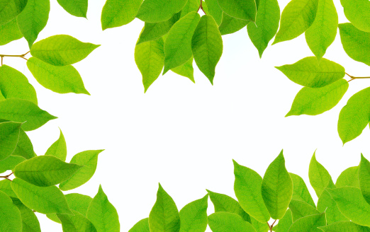 葉「Fresh green leaves against white background」:スマホ壁紙(1)
