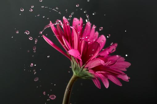 花頭「Pink gerbera flower with water droplets」:スマホ壁紙(16)