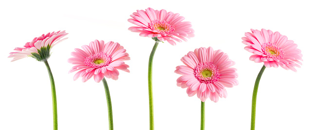 Gerbera Daisy「Pink Gerberas (Clipping Path)」:スマホ壁紙(14)
