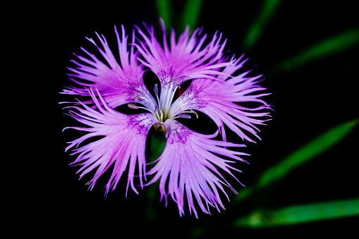 Bangs「Garden-pink, close-up」:スマホ壁紙(13)