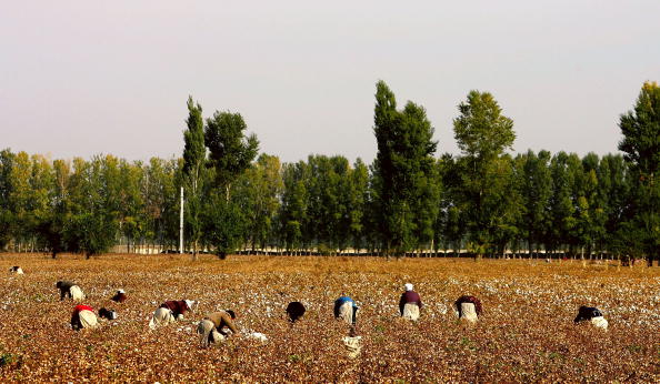 Agricultural Field「Migrant Workers Trek To Xinjiang To Pick Cotton」:写真・画像(3)[壁紙.com]