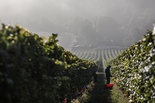 Agriculture「Grapes Are Harvested At Hampshire Vineyard」:写真・画像(1)[壁紙.com]