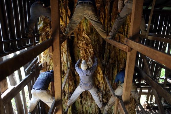Tobacco Crop「Tobacco Harvesting Underway In Kentucky」:写真・画像(4)[壁紙.com]