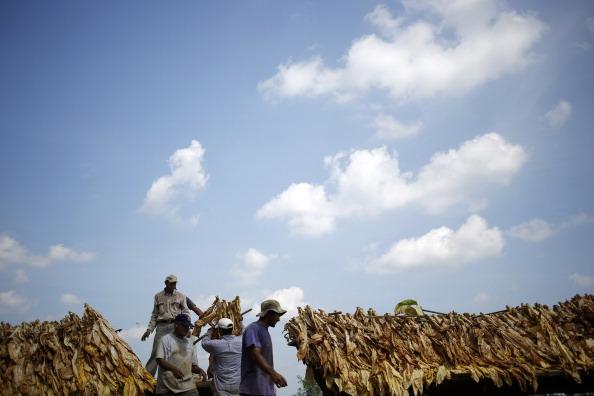 Tobacco Crop「Tobacco Harvesting Underway In Kentucky」:写真・画像(2)[壁紙.com]
