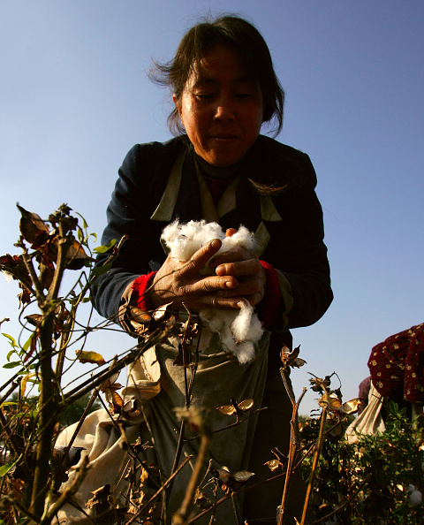 Clear Sky「Migrant Workers Trek To Xinjiang To Pick Cotton」:写真・画像(16)[壁紙.com]