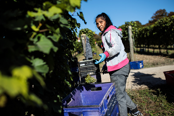Fruit「Grapes Are Harvested At Hampshire Vineyard」:写真・画像(15)[壁紙.com]