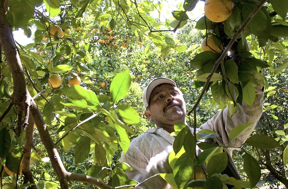 Orange - Fruit「Migrants Continue To Work As Immigration Bill Is Debated In Congress」:写真・画像(3)[壁紙.com]