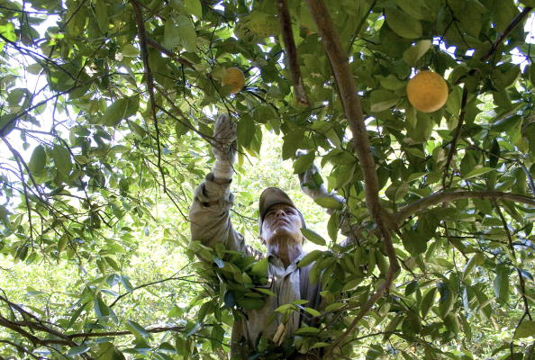 Orange - Fruit「Migrants Continue To Work As Immigration Bill Is Debated In Congress」:写真・画像(4)[壁紙.com]