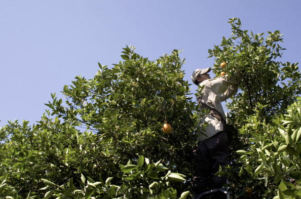 Orange - Fruit「Migrants Continue To Work As Immigration Bill Is Debated In Congress」:写真・画像(10)[壁紙.com]
