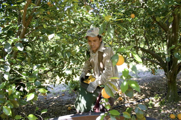 Orange - Fruit「Migrants Continue To Work As Immigration Bill Is Debated In Congress」:写真・画像(5)[壁紙.com]