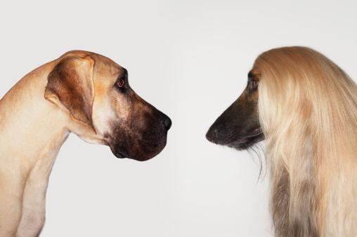 Two Animals「Great Dane and Afghan Hound」:スマホ壁紙(15)
