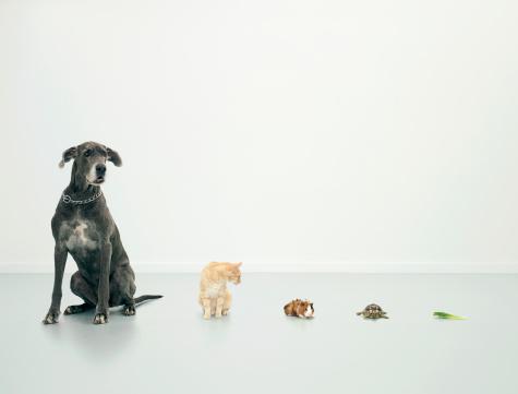 Rodent「Great Dane, cat, guinea pig, tortoise and lettuce leaf in line」:スマホ壁紙(15)