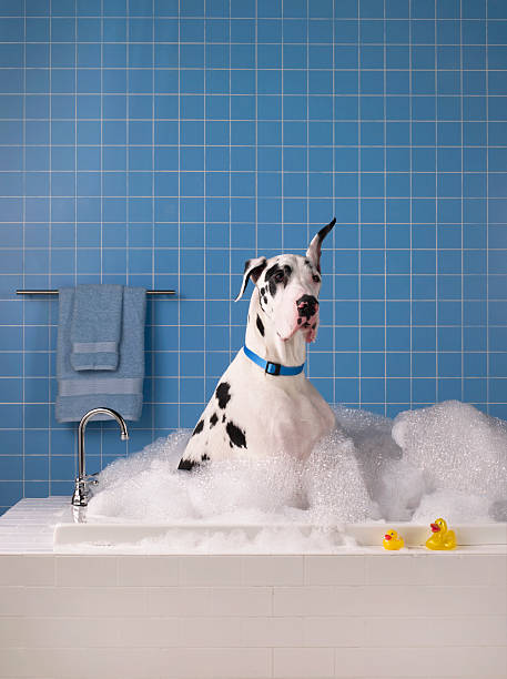 Great dane getting a bath with blue tile in background.:スマホ壁紙(壁紙.com)