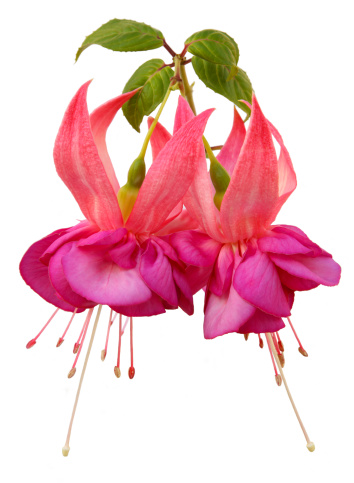Haslemere「Large pink fuchsia flowers close-up」:スマホ壁紙(13)