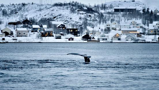 Whale Watching「Whales in Coastline, Tromso, Norway」:スマホ壁紙(8)