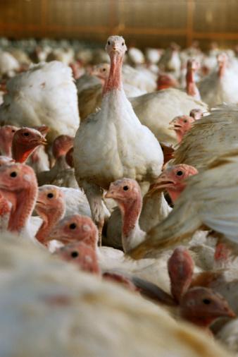 Turkey - Bird「Mature turkeys (meleagris gallopavo) on farm」:スマホ壁紙(0)