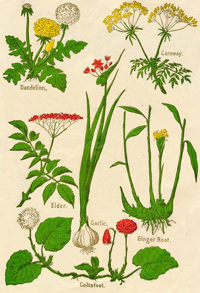 Spice「Flowers: Dandelion, Caraway, Elder, Garlic, Coltsfoot, Ginger Root, c1940」:写真・画像(19)[壁紙.com]
