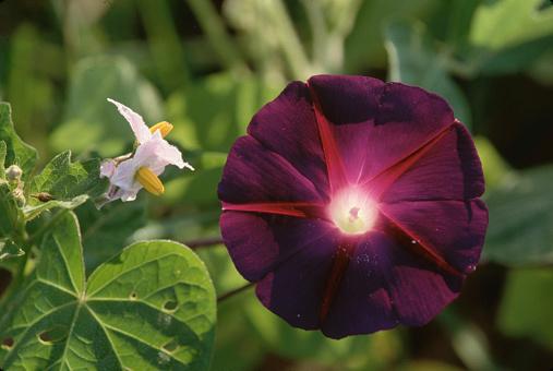 Morning Glory「Purple Morning Glory」:スマホ壁紙(14)