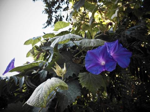 朝顔「Purple morning glories」:スマホ壁紙(4)